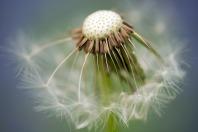 common-dandelion-335662_1920